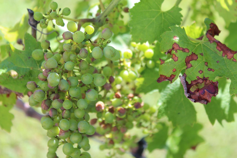 black rot of grapes kentucky pest news