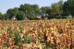 Figure 4: Plants severely affected by black shank of tobacco. (Photo: Kenny Seebold, UK).