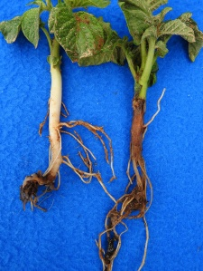 Figure 1: Blackleg, caused by D. dianthicola, causes dark rotting lesions extending from potato plant roots upward (Photo: Meg McGrath, Cornell University).