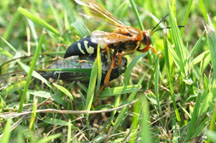 Figure 1. Female cicada killer carrying a cicada to her burrow (Photo: Lee Townsend, UK)