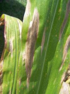 Figure 1. Lesions of northern leaf blight on a corn leaf (Photo: Carl Bradley, UK).