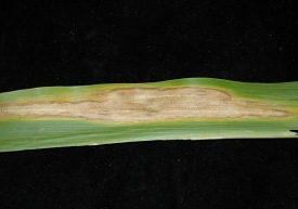 "Figure 2. Lesion of Diplodia leaf streak on a corn leaf. Notice the dark ""pin-sized"" structures within the lesion, known as ""pycnidia"", which distinguishes Diplodia leaf streak from northern leaf blight (Photo: Carl Bradley, UK)"