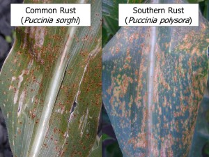 Figure 4. Common rust and southern rust may be difficult to differentiate in the field, but a free online video can show some tips in identifying these diseases (Photo: Carl Bradley, UK).