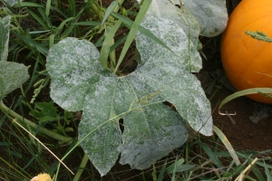 Figure 1: Symptoms of cucurbit powdery mildew begin as white, powdery spots on the upper or lower leaf surface. (Photo: Kenny Seebold, UK)
