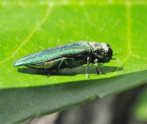 Figure 2. Emerald ash borer adult sunning on a leaf (Photo: Lee Townsend, UK)