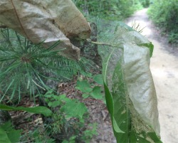 """Figure 1. Fall webworm tents were particularly abundant on sourwood trees in Powell County on July 16 this year. Leaves can appear """"scorched"""" from surface feeding of small caterpillars (Photo: Lee Townsend,UK)"""