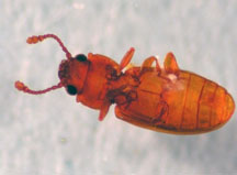 Figure 1. Foreign grain beetle – note knob on edge of segment behind head (Photo: Lee Townsend, UK)