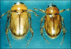 Figure 1. Northern (left) and southern (right) masked chafers fly at night. (Photo: D. Potter, UK)