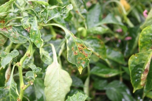Figure 1. Bacterial spot of pepper foliar symptoms (Photo: Kenneth Seebold, UK)