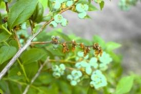 Figure 1: Symptoms first appear as blighted twigs. (Photo: Annemiek Schilder, Michigan State University)
