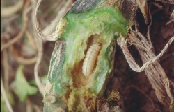 Figure 2. Wet frass pushed out of squash vine borer tunnels often alerts growers to the presence of borers. (Photo: Ric Bessin,