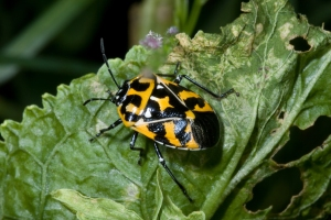 Figure 1. Harlequin bug feeds on crucifer foliage, leaving distinct leaf damage. (Photo: Ric Bessin, UK)