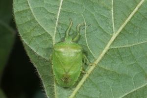 Figure 2. Green stink bug is easier to control with insecticides than brown or brown marmorated stink bugs. (Photo: Ric Bessin, UK)