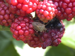 Figure 3. There are three species we refer to as brown stink bugs, they are all pests. (Photo: Ric Bessin, UK)
