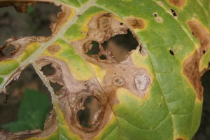 Figure 2: Target spot lesions on lower leaf, with fallen-out centers and concentric rings (Photo: Kenneth Seebold, UK).