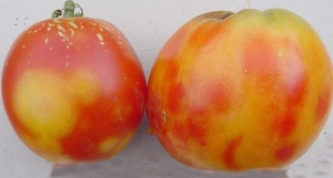 Figure 3: Fruit of TSWV infected plants may show mottling, ringspots, and/or irregular growth. (Photo: Paul Bachi, UK)