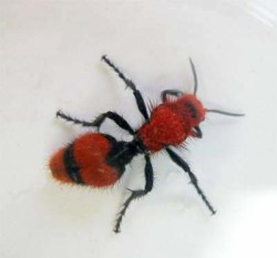 Figure 5. Velvet ant, also known as cow-killer (Photo: Lee Townsend, UK).
