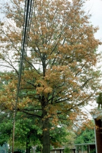 Figure 2: Pin oak tree that has turned entirely brown prematurely from many years of bacterial leaf scorch infection. (Photo: John Hartman, UK)