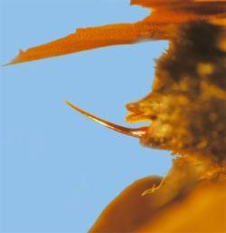 Figure 2. Barbless stinger of bumble bee (Photo: Lee Townsend,UK)