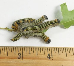 Figure 2. Yellownecked caterpillar (Photo: by Traci Missun, Oldham County Extension Agent)