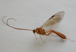 Figure 4. Many beneficial wasps develop within and kill caterpillars (Photo: Lee Townsend, UK).