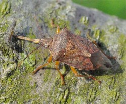 Figure 5. The spined soldier bug is an important predator of caterpillars. Note the small one impaled on the beak of this one (Photo: Lee Townsend, UK).