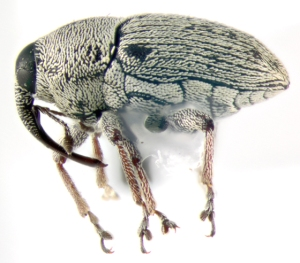 Corn_Pith_Weevil_Fig 3