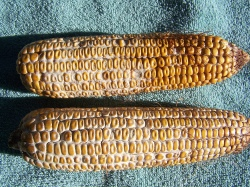 Figure 1. White, cottony mold beginning at the base of the ear and developing towards the tip, which is typical of Diplodia ear rot (Photo: Carl Bradley, UK)