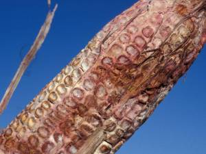 Figure 3. Pink-colored mold growing on corn kernels, which is typical of Gibberella ear rot (Photo: Don White, University of Illinois)