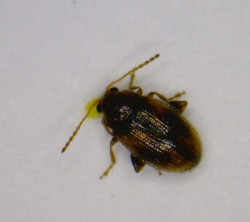 Figure 1. Tobacco flea beetle (Photo: Brandon Bell, Metcalfe County Extension Agent)