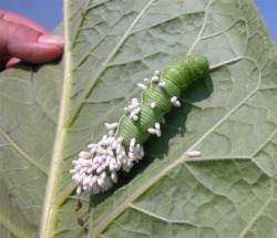 Figure 4. Do not count hornworms with silken wasp cocoons on their backs when assessing infestations (Photo: Lee Towsend, UK).