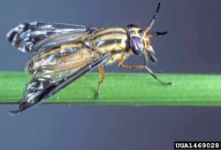 Figure 2. Deer flies, also known as yellow flies, bite humans and livestock (Photo: Sturgis McKeever, Georgia Southern University, Bugwood.org)