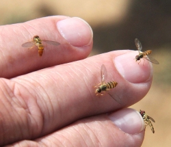 Figure 1. Harmless hover flies frequently land on people. (Photo: Curtis Judy, UK)