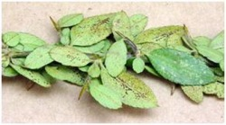 Figure 2. Check lower leaf surfaces for evidence of lace bug insects, black tarry waste spots, and regular rows of dark eggs. (Photo:Paul Bachi, UK).