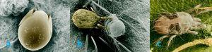 Figure 2. (a) Oribatida, (b) Mesostigmata feeding on Prostigmata mite and, (c) the common two spotted spider mite (Photos courtesy of Dr. Ronald Ochoa ARS-USDA)