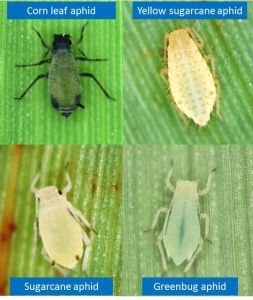 Figure 1. Species of aphids found in sweet and grain sorghun. The sugarcane aphid can be identified by the dark cornicles compared to the green bug or yellow sugarcane aphid. (Photo: USDA)