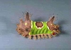 StingingCaterpillars_Fig1