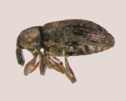 Figure 1. Alfalfa weevil adult (Photo: Lee Townsend, UK)