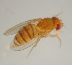 Figure 1 . Fruit flies usually have light tan/yellow bodies with cross stripes and red eyes. (Photo: Lee Townsend, UK)
