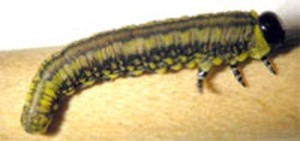 Figure 1. Introduced pine sawfly larva (Photo: Lee Townsend, UK)