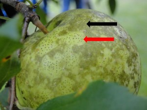 Figure 1: Sooty blotch (black arrow) and flyspeck (red arrow) often occur on the same fruit (Photo: Kimberly Leonberger, UK)