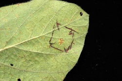 "Figure 1. Soybean rust pustules observed on the underside of a soybean leaflet (inside the ""box"" drawn with a pen) (Photo: Carl Bradley, UK)"