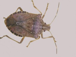 Figure 4. Brown marmorated stink bug (Photo: Lee Townsend, UK)