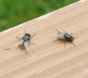 Figure 6. Face flies resting on deck rail (Photo by R. Hillard)