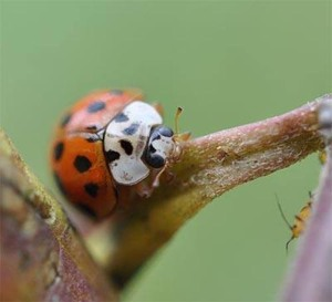 Figure 7. Multicolored Asian lady beetle (Photo: Lee Townsend, UK)
