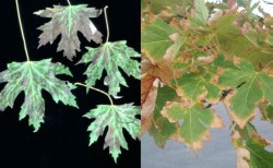 Figure 1: Scorch symptoms may develop between veins (left) or along margins (right) of deciduous plant leaves. (Photo: Left - Cheryl Kaiser, UK; Right – Nicole Ward Gauthier, UK)