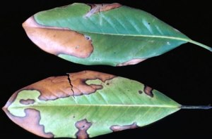 Figure 3: Winter drying may lead to dried leaves with a brown coloration along margins or on needles. (Photo: Cheryl Kaiser, UK)