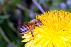 Figure 1. Dandelions and clovers are important food sources for honey bees and other pollinators. (Photo: Ric Bessin, UK)