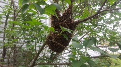 Figure 2. A honey bee swarm in an urban area. While swarming, bees are less aggressive. (Photo: Ric Bessin, UK)