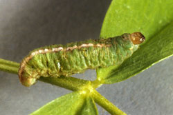 Figure 3. Clover leaf weevil larva (Photo: Oregon State University)